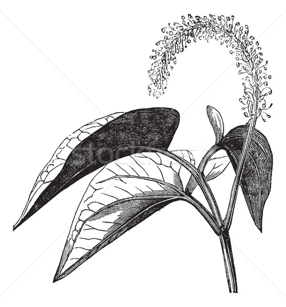 Lizard's tail or Saururus cernuus vintage engraving Stock photo © Morphart