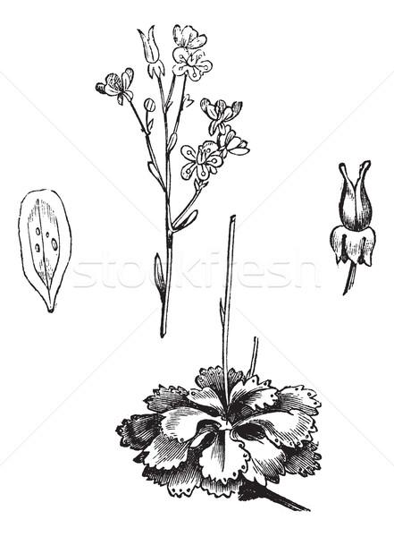 Schaduw vintage gegraveerd encyclopedie bloem Stockfoto © Morphart