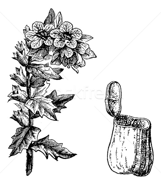 Black Henbane or Hyoscyamus niger, vintage engraving Stock photo © Morphart