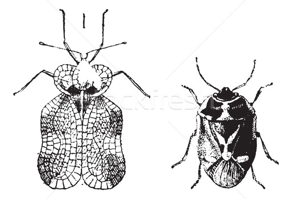 Left - Hemiptera Heteroptera, tiger bug or lace bug, Right - Nez Stock photo © Morphart