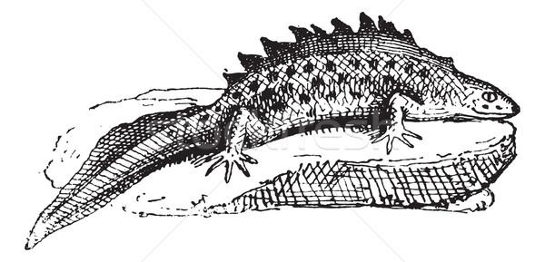 Salamander, vintage engraving. Stock photo © Morphart