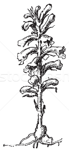 Broomrape or broom-rape, vintage engraving. Stock photo © Morphart