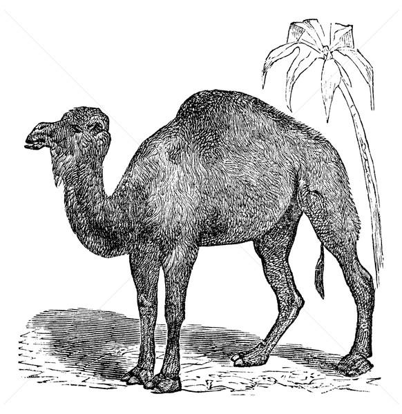 Dromedary or  Camelus dromedarius vintage engraving Stock photo © Morphart