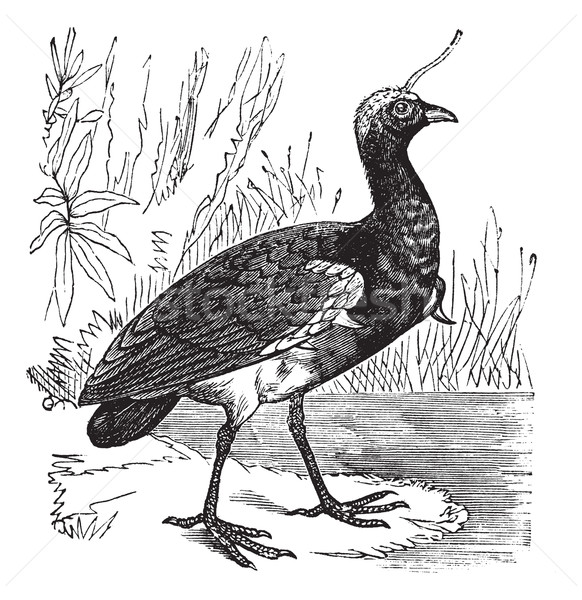 Horned Screamer or Anhima cornuta vintage engraving Stock photo © Morphart