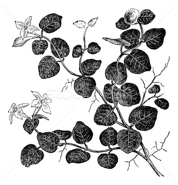 Vintage gegraveerd illustratie encyclopedie bloem Stockfoto © Morphart