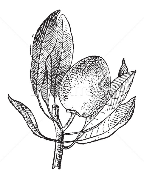 Vintage gravure vieux gravé illustration fruits Photo stock © Morphart