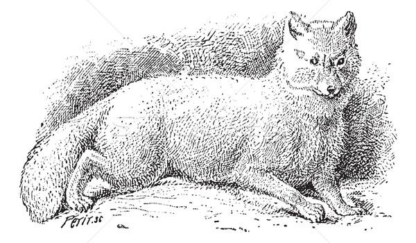 Sarkköri róka fehér klasszikus vésés sarki Stock fotó © Morphart