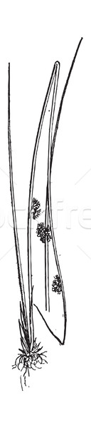 Juncus conglomeratus or Compact Rush, vintage engraving. Stock photo © Morphart