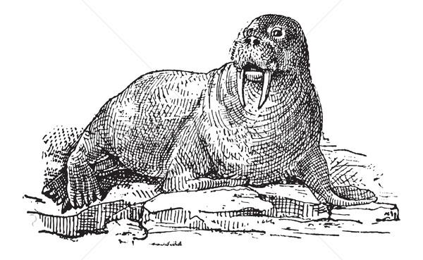 морж Vintage иллюстрация словарь Сток-фото © Morphart