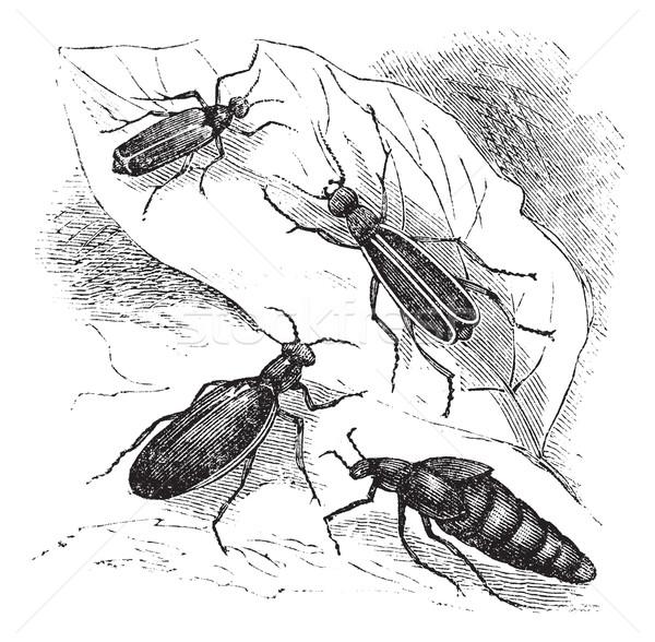 Cantharis or lytta vesticatoria or Spanish fly  vintage engravin Stock photo © Morphart