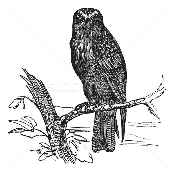 Eurasian Hobby or Falco subbuteo vintage engraving Stock photo © Morphart