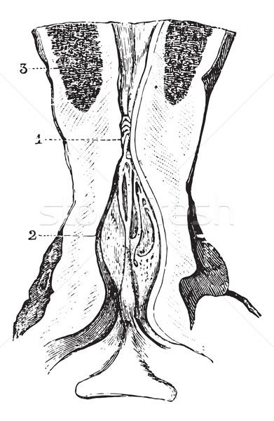 Prostata vintage inciso illustrazione medicina dizionario Foto d'archivio © Morphart