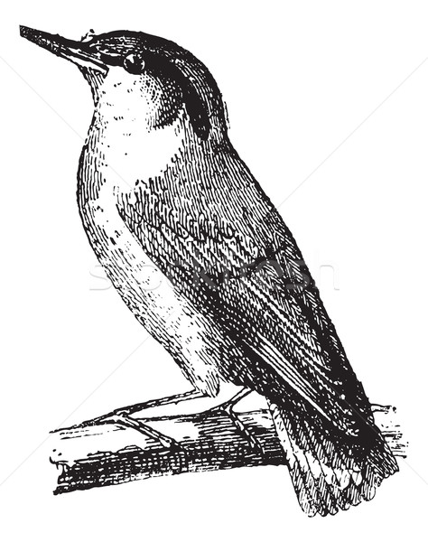 Nuthatch or Sitta vintage engraving Stock photo © Morphart