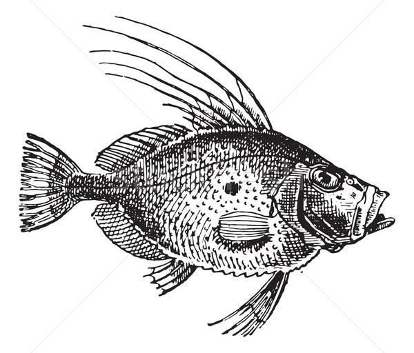 Saint Peter Fish or Zeus faber, vintage engraving. Stock photo © Morphart