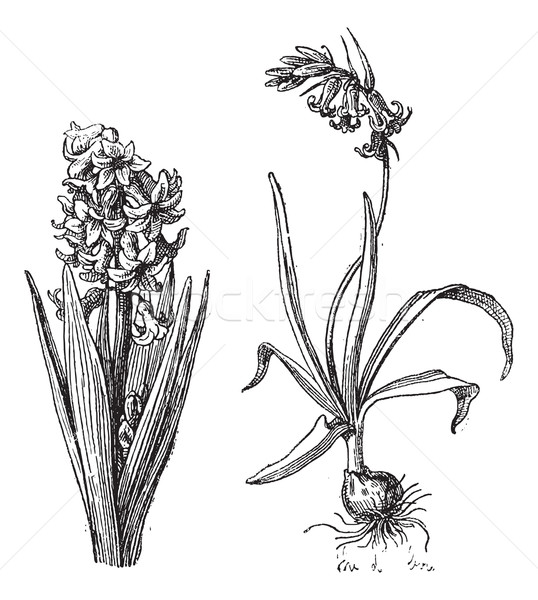 Hyacinth, Bluebell, vintage engraving. Stock photo © Morphart
