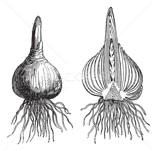 Hyazinthe ganze Zwiebel geschnitten Jahrgang Gravur Stock foto © Morphart