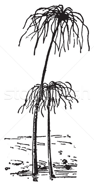 Papyrus Plant or Cyperus papyrus, vintage engraving. Stock photo © Morphart