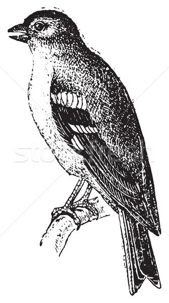 Finch, vintage engraving. Stock photo © Morphart