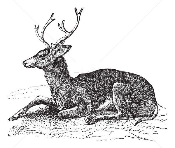 Mule deer or Odocoileus hemionus vintage engraving Stock photo © Morphart
