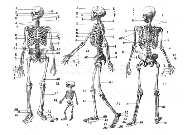 Human skeleton, vintage engraving. Stock photo © Morphart