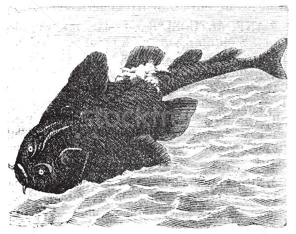 Squatina angelus or Angel shark old engraving. Stock photo © Morphart