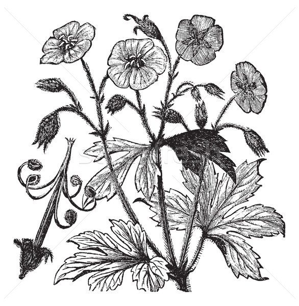 Spotted Geranium or Geranium maculatum vintage engraving  Stock photo © Morphart