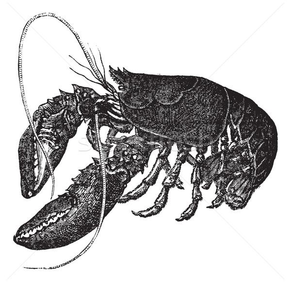 Common lobster or Homarus gammarus vintage engraving  Stock photo © Morphart