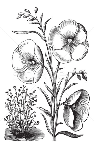 Linum grandiflorum or Red flax vintage engraving Stock photo © Morphart