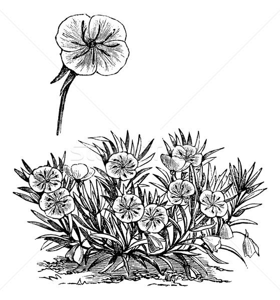 Misuri primavera vintage grabado ilustración Foto stock © Morphart
