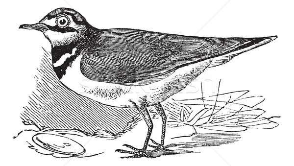 Ringed Plover or Charadrius hiaticula, vintage engraving Stock photo © Morphart