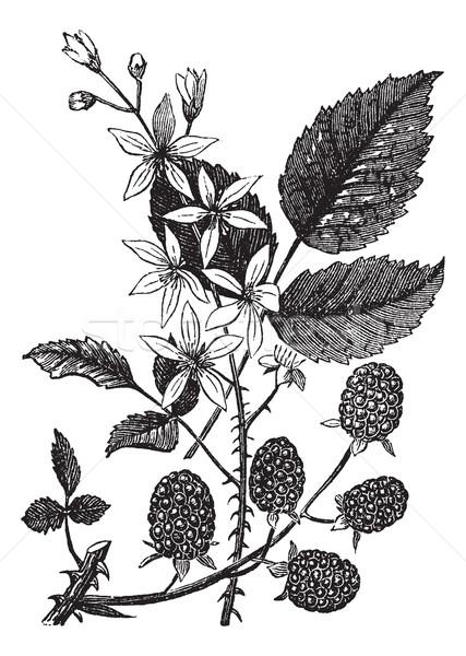 Blackberry or Rubus villosus vintage engraving Stock photo © Morphart