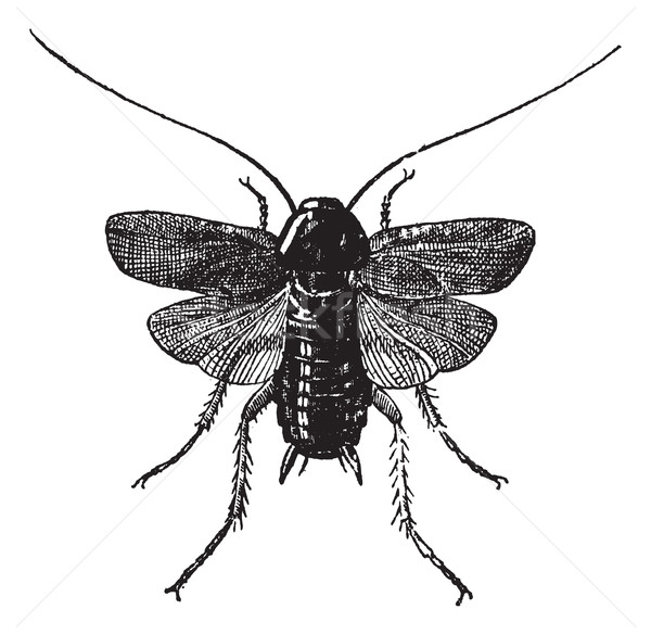 Fig 83. Cockroach, vintage engraving. Stock photo © Morphart