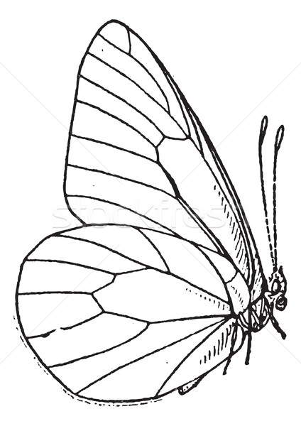 Lepidopteran or Lepidoptera, vintage engraving Stock photo © Morphart