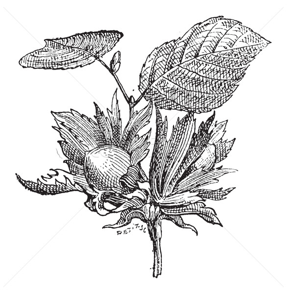 Hazel or Corylus sp., vintage engraving Stock photo © Morphart