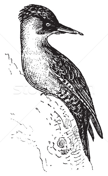 Woodpecker or Piculets, vintage engraving. Stock photo © Morphart