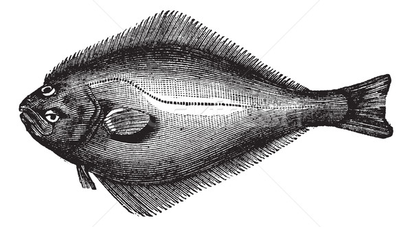 Atlantic Halibut or Hippoglossus hippoglossus, vintage engraving Stock photo © Morphart