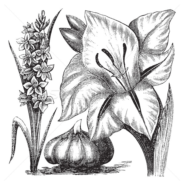 Gladiolus or sword lily vintage engraving Stock photo © Morphart