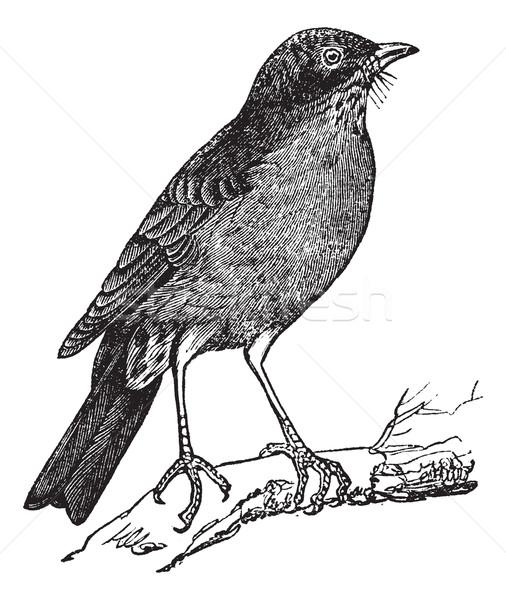American Robin (Turdus migratorius) vintage engraving Stock photo © Morphart