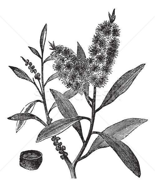 чай дерево нефть белый древесины Vintage Сток-фото © Morphart