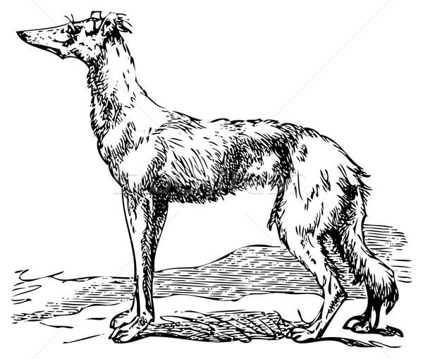 Saluki or Borzoi dog engraving Stock photo © Morphart