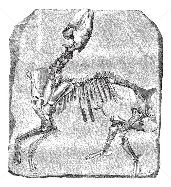 Skeleton of the great Paleotherium de Vitry, vintage engraving. Stock photo © Morphart