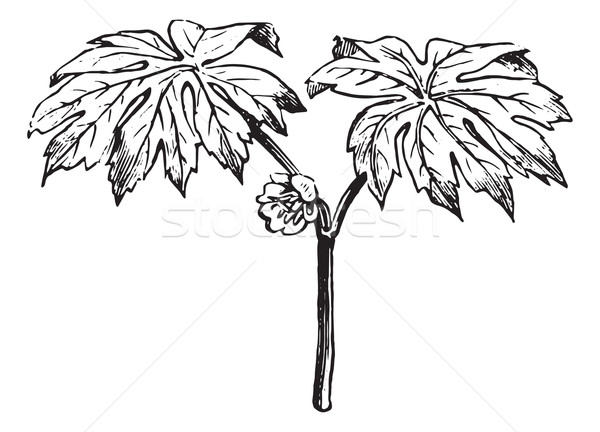 Podophyllum, vintage engraving. Stock photo © Morphart