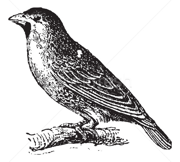 Sociable Weaver or Social Weaver (Philetairus socius) , vintage  Stock photo © Morphart