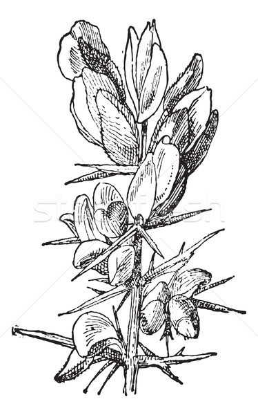 Gorse or Ulex sp., vintage engraving Stock photo © Morphart