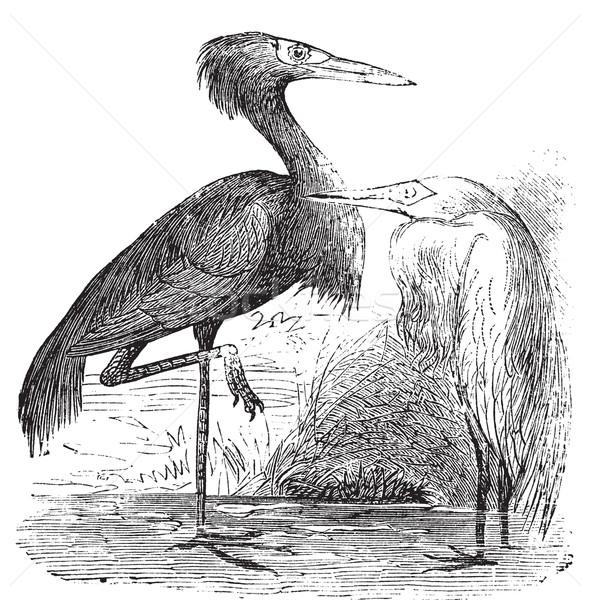 Engraving of a Reddish Egret (ardea rufa or Egretta rufescens) Stock photo © Morphart
