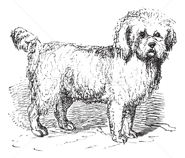 Barbet or Canis lupus familiaris vintage engraving Stock photo © Morphart