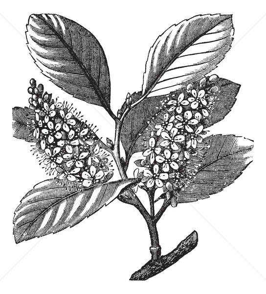 cherry laurel (Prunus laurocerasus) or Cherry laurel vintage eng Stock photo © Morphart