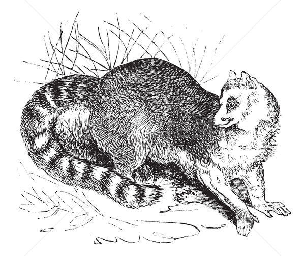 Ring-tailed lemur or Lemur catta vintage engraving Stock photo © Morphart