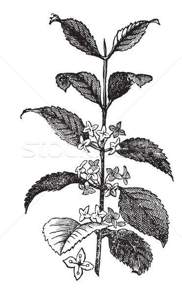 Buckthorn or Rhamnus cathartica, vintage engraved illustration Stock photo © Morphart