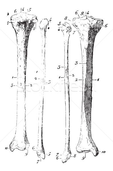 Skeleton of the leg, vintage engraving. Stock photo © Morphart